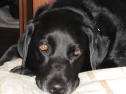 Rescue, chien Labrador Retriever