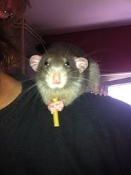 Reset, rongeur Rat