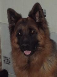 Reus Vom Aspenhaus, chien Berger allemand