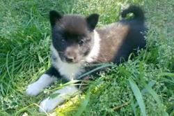 Rêve, chien Laïka russe européen