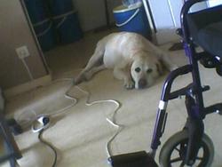 Revelle, chien Labrador Retriever