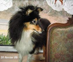 Rêverie, chien Berger des Shetland