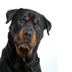 Reves, chien Rottweiler