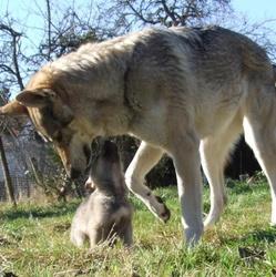 Rex, chien Chien-loup tchèque