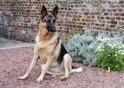 Rex, chien Berger allemand