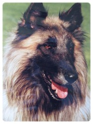 Rex, chien Berger belge
