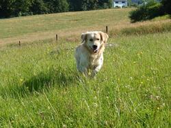Rex, chien Golden Retriever