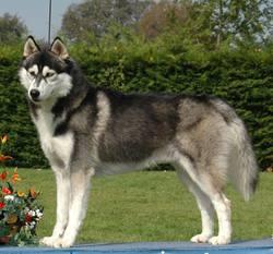 Lola, chien Husky sibérien