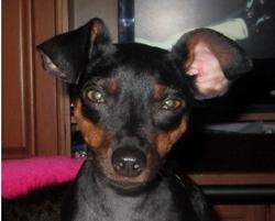 Rex, chien Pinscher