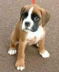 Rex, chien Boxer