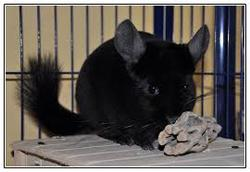 Rex, rongeur Chinchilla