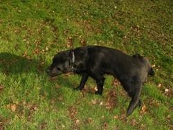 Rex, chien Labrador Retriever