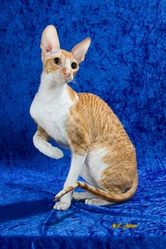 Rex, chat Cornish Rex