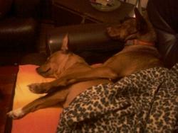 Rex, chien Podenco canario