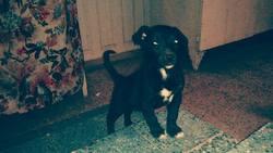 Rex, chien Staffordshire Bull Terrier
