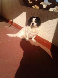 Rex, chien Cavalier King Charles Spaniel