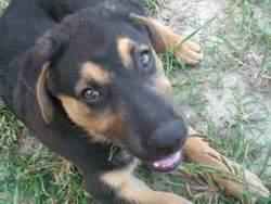 Rex, chien Rottweiler