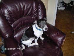 Rex, chien Jack Russell Terrier