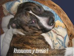 Rex, chien American Staffordshire Terrier