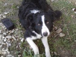 Rex, chien Border Collie