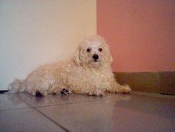 Rex, chien Caniche