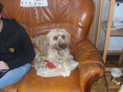 Rex, chien Berger d'Islande