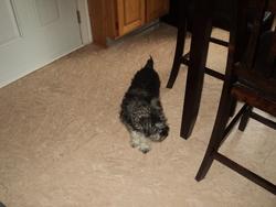 Rex, chien Schnauzer