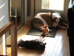 Rex, chien Berger australien