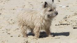 Rex, chien Cairn Terrier