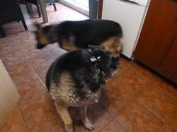 Rex-Buddy, chien Berger allemand