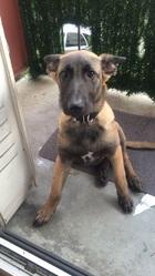 Rexou, chien Berger belge