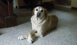 Rexy, chien Labrador Retriever