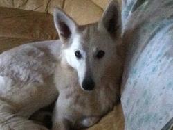 Reyna, chien Berger blanc suisse