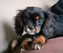 Rhéa, chien Cavalier King Charles Spaniel