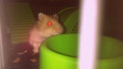 Rhino, rongeur Hamster