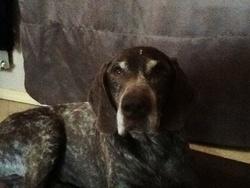 Rhodes, chien Braque allemand à poil court