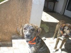 Ribombu, chien