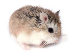 Ribow, rongeur Hamster