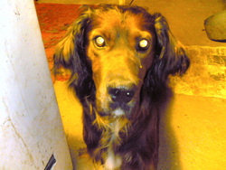 Ricard, chien Setter Gordon