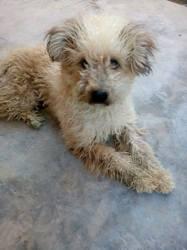 Ricci, chien Bichon maltais