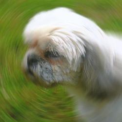 Ricki, chien Shih Tzu