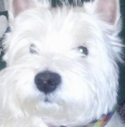 Ricky, chien West Highland White Terrier