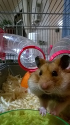 Rico, rongeur Hamster