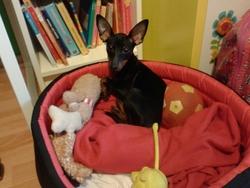Rico, chien Pinscher