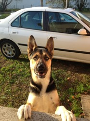 Rico, chien Berger allemand