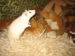 Ricoto, rongeur Rat