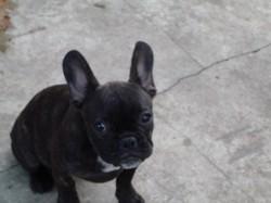 Riffus, chien Bouledogue français