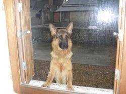 Riga, chien Berger allemand