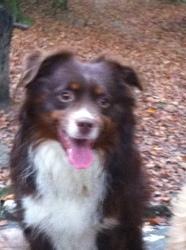 Rigel, chien Berger australien