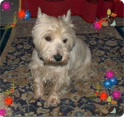 Rigpa, chien West Highland White Terrier